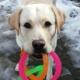 volunteer, adult raiser, NSD, National Service Dogs